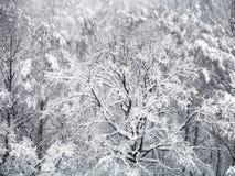 vista aérea del roble nevado en nevadas Foto de archivo libre de regalías