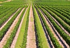 Vista aérea del viñedo en Ontario Canadá Foto de archivo