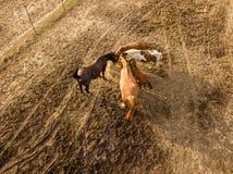 Vista aérea do zangão dos cavalos de exploração agrícola que pastam e que andam em um dia de verão imagem de stock royalty free