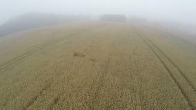 Vista aérea do zangão sobre o campo de trigo maduro na manhã enevoada vídeos de arquivo