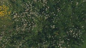 Vista aérea dos dentes-de-leão de sopro macios no prado filme