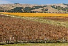Vista aérea dos vinhedos no outono na região de Marlborough Fotos de Stock