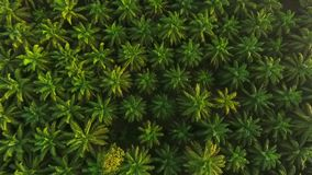 Vista aérea: Nascer do sol na plantação da árvore do óleo de palma de cima de Opinião de olho de pássaros de HD Krabi, Tailândia vídeos de arquivo
