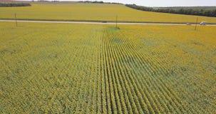 Vista aérea: o período sobre o campo com girassóis lateralmente entre as fileiras exatamente video estoque