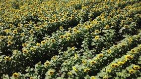 A vista aérea que voa acima de um grande campo colorido de girassóis amadurecidos da cor verde com pétalas e as sementes amarelas filme