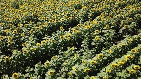 A vista aérea que voa acima de um grande campo colorido de girassóis amadurecidos da cor verde com pétalas e as sementes amarelas video estoque