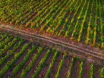 Vista aérea sobre o vinhedo em Europa no por do sol fotografia de stock royalty free