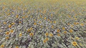 Vista aérea: Voo sobre um campo bonito do girassol filme