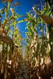 Vista abaixo da fileira do campo de milho. Fotos de Stock