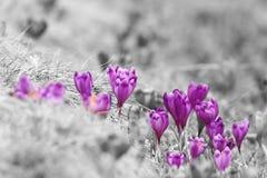 Vista abstracta de las azafranes de la primavera fotografía de archivo libre de regalías