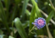 Vista abstracta de una flor azul salvaje imagenes de archivo