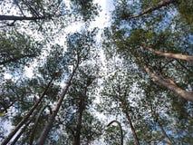 Vista acima ao céu acima da opinião de pinheiro foto de stock royalty free