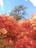 Vista acima através das árvores de bordo no outono foto de stock