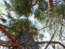 Vista acima através dos pinheiros Foto de Stock Royalty Free