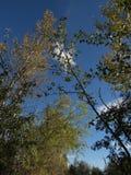 Vista acima em árvores no céu azul Foto de Stock Royalty Free