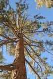Vista acima em uma árvore Fotografia de Stock Royalty Free