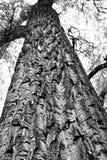 Vista acima em uma árvore alta fotografia de stock