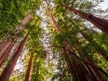Vista acima nas árvores litorais antigas da sequoia vermelha imagens de stock