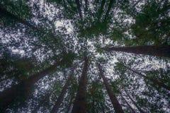 Vista acima nas sequoias vermelhas Foto de Stock