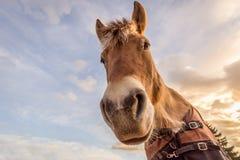 Vista acima a uma cabeça de cavalo Fotografia de Stock Royalty Free