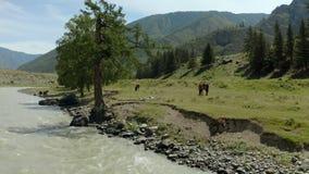Vista aerea, bella vista di un fiume della montagna un giorno soleggiato nelle montagne di Altai, pascolo dei cavalli selvaggii L video d archivio