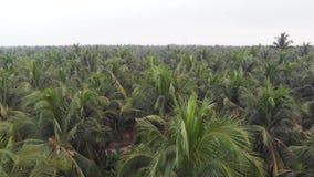 Vista aerea degli alberi del cocco dal fuco nella scanalatura indiana rurale della piantagione della noce di cocco, Kerala video d archivio
