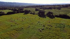Vista aerea dei campi con correre delle pecore stock footage
