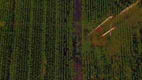 Vista aerea dei campi di grano che sono irrigati con l'azienda agricola concentrare del cereale del sistema del perno su vasta sc video d archivio