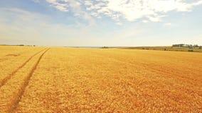 Vista aerea dei campi dorati archivi video