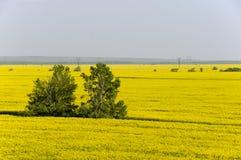 Vista aerea dei giacimenti gialli del seme di ravizzone Fotografia Stock Libera da Diritti