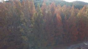 Vista aerea dei pini nei colori di caduta archivi video