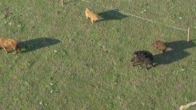 Vista aerea del bestiame, un gruppo di mucche che camminano e che masticano tranquillamente erba archivi video