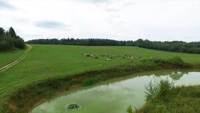Vista aerea del campo e del lago verdi Sorvolare il campo con erba verde e poco lago Rilevamento aereo della foresta vicino Immagini Stock