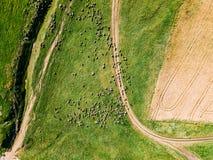 Vista aerea del fuco di alimentazione del gregge delle pecore Fotografia Stock Libera da Diritti