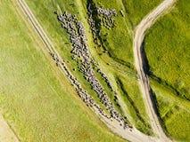 Vista aerea del fuco di alimentazione del gregge delle pecore Immagini Stock Libere da Diritti