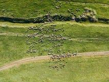 Vista aerea del fuco di alimentazione del gregge delle pecore Fotografia Stock