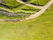 Vista aerea del fuco di alimentazione del gregge delle pecore Fotografie Stock Libere da Diritti