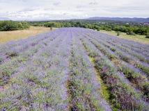 Vista aerea del giacimento della lavanda nella stagione di fioritura completa nelle file diagonali fotografie stock libere da diritti