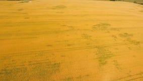 Vista aerea del giacimento di grano dorato Video aereo Immagini Stock Libere da Diritti