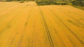 Vista aerea del giacimento di grano dorato Video aereo Immagine Stock