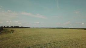 Vista aerea del giacimento di grano Ondeggiamento giallo del grano delle orecchie nel vento Raccolto, grano che cresce sul campo archivi video