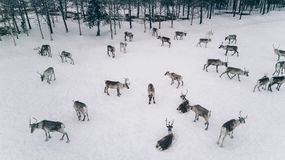 Vista aerea del gregge della renna nell'inverno Lapponia Finlandia fotografia stock libera da diritti