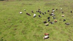 Vista aerea del gregge delle mucche in pascolo, allevamento Movimento lento stock footage
