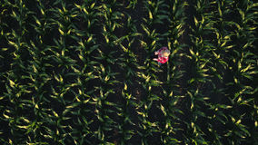 Vista aerea dell'agricoltore femminile con la compressa nel campo di grano Fotografia Stock