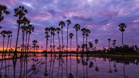 Vista aerea dell'albero della palma da zucchero con il cielo di tramonto Fotografia Stock