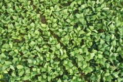 Vista aerea della pianta di tabacco verde Immagine Stock Libera da Diritti