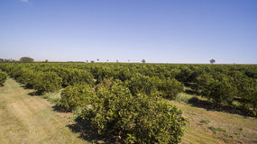 Vista aerea della piantagione degli aranci Fotografie Stock