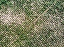 Vista aerea della piantagione della manioca Immagini Stock Libere da Diritti