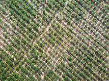 Vista aerea della piantagione della manioca Immagine Stock Libera da Diritti