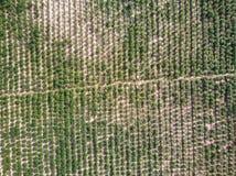 Vista aerea della piantagione della manioca Immagine Stock